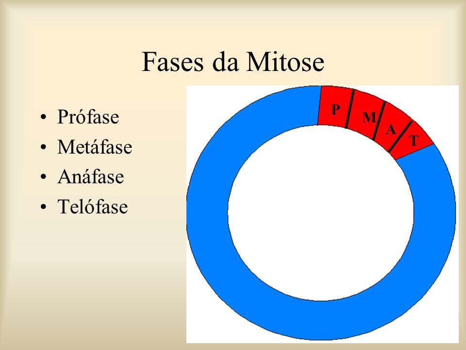 Fases da Mitose P Prófase Metáfase Anáfase Telófase M A T