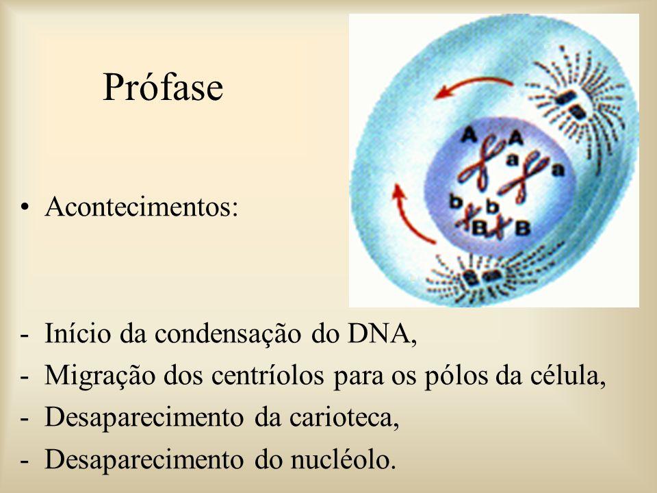Prófase Acontecimentos: Início da condensação do DNA,