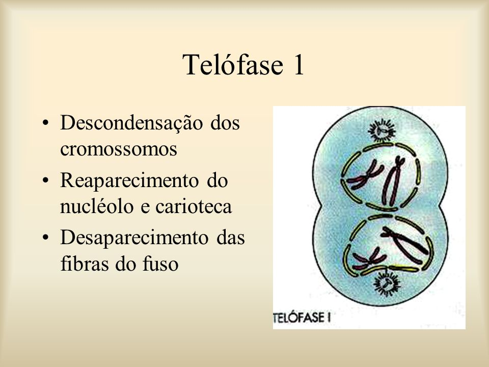 Telófase 1 Descondensação dos cromossomos