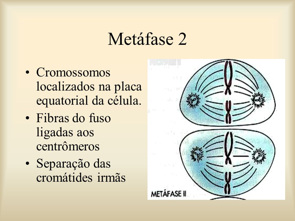 Metáfase 2 Cromossomos localizados na placa equatorial da célula.