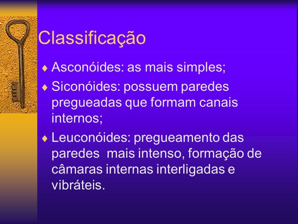 Classificação Asconóides: as mais simples;