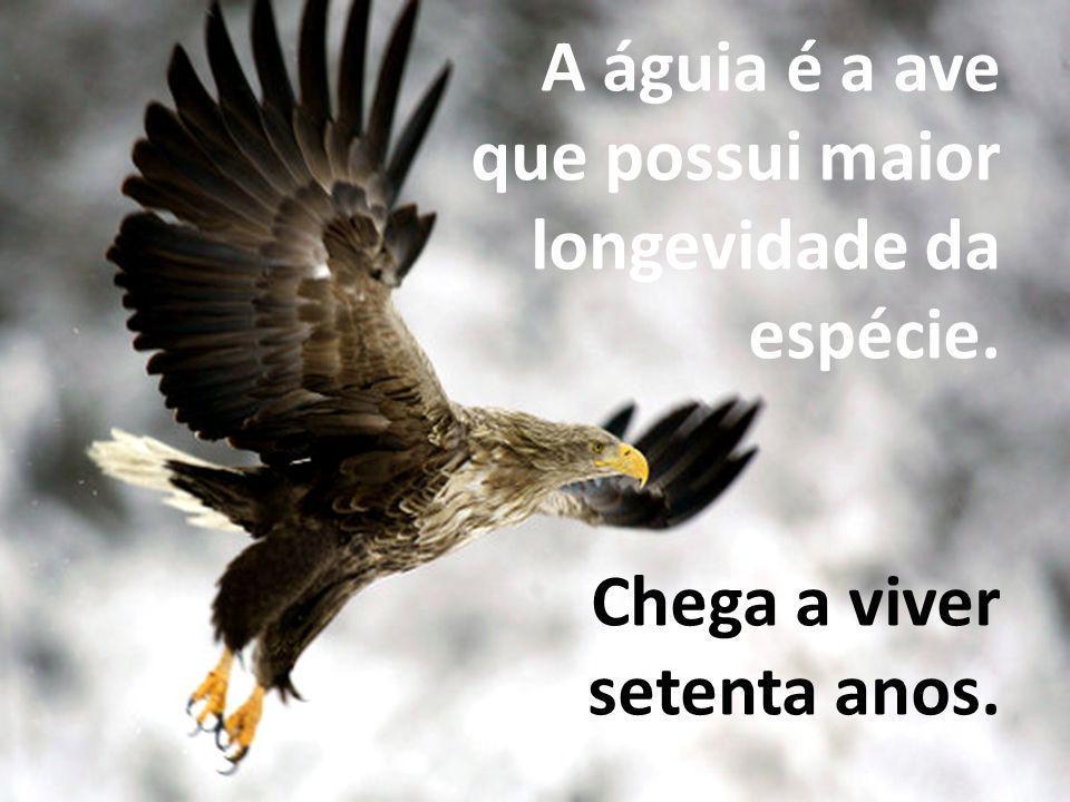 A águia é a ave que possui maior longevidade da espécie