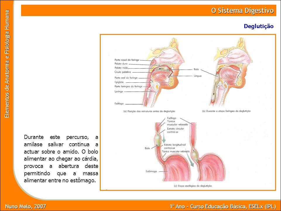 O Sistema Digestivo Deglutição