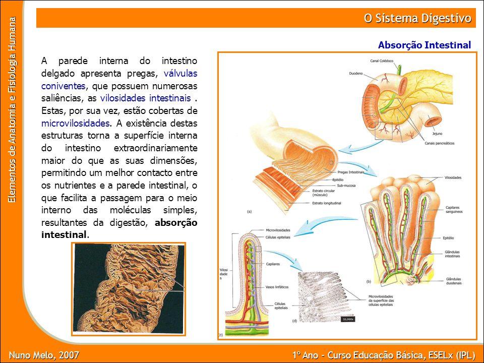 O Sistema Digestivo Absorção Intestinal