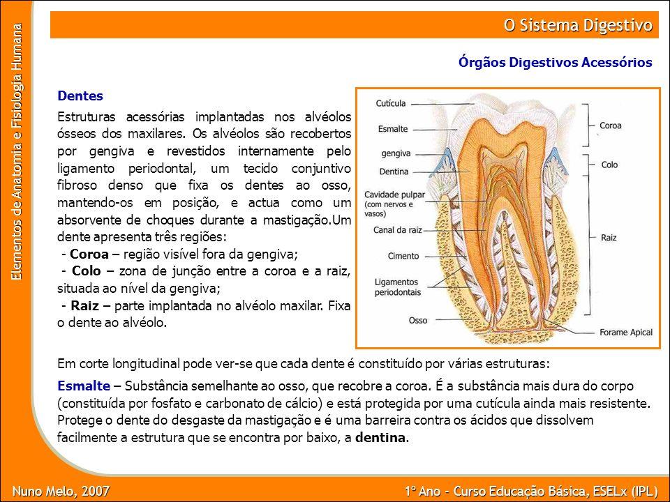O Sistema Digestivo Órgãos Digestivos Acessórios Dentes