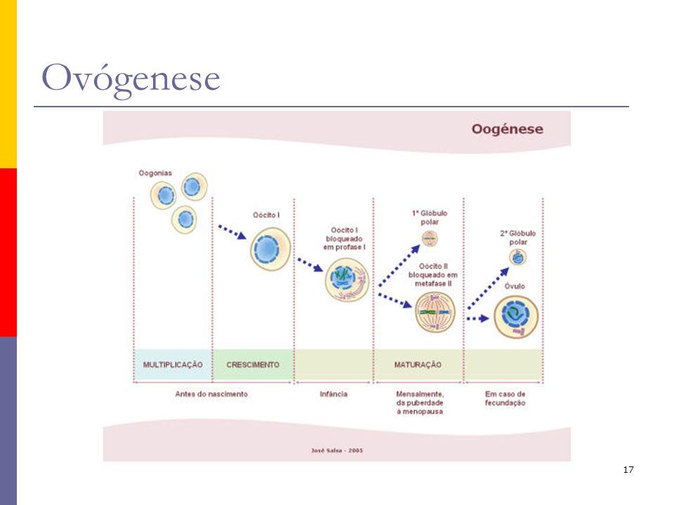 Ovógenese O processo de formação de gãmetas femininos – oogénese ou ovógenese – não é contínuo. Pode considerar-se três fases:
