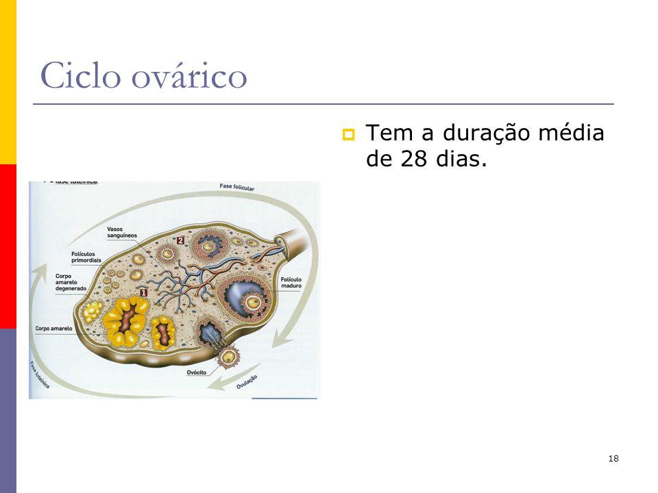 Ciclo ovárico Tem a duração média de 28 dias.