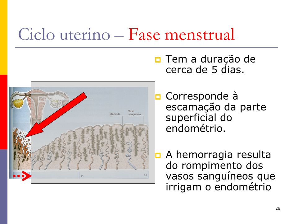 Ciclo uterino – Fase menstrual