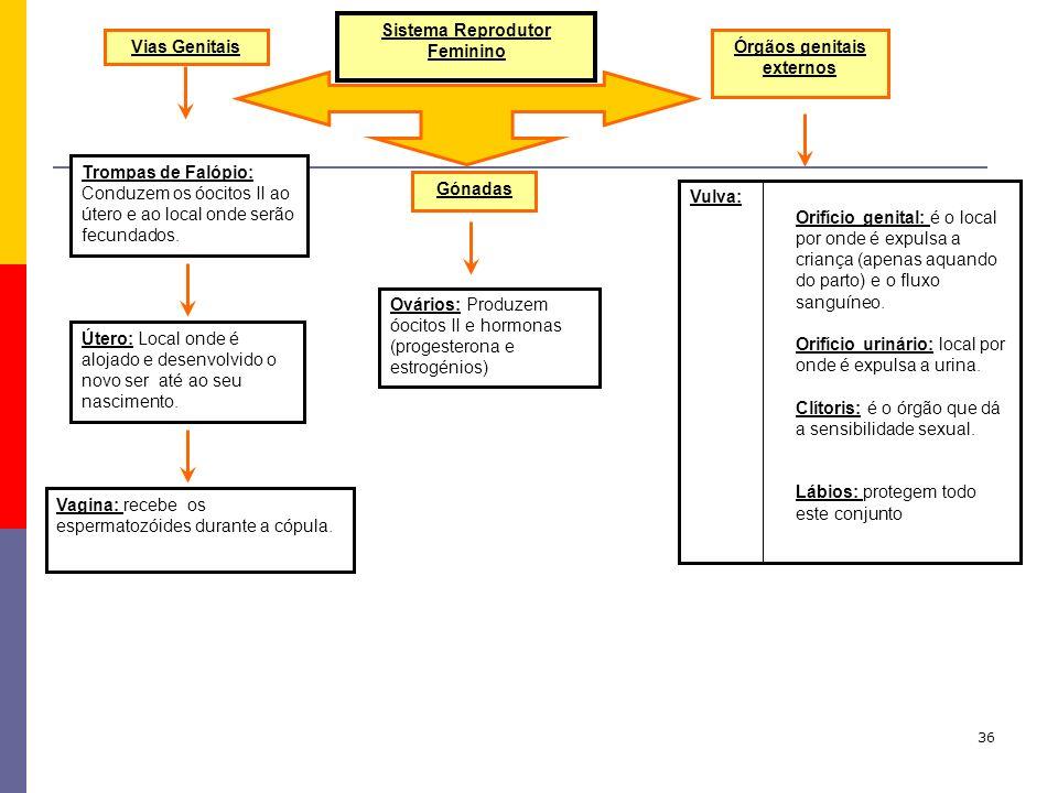Sistema Reprodutor Feminino Órgãos genitais externos