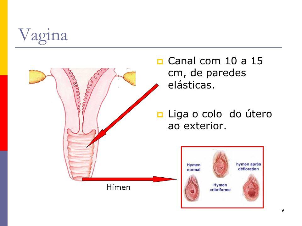 Vagina Canal com 10 a 15 cm, de paredes elásticas.