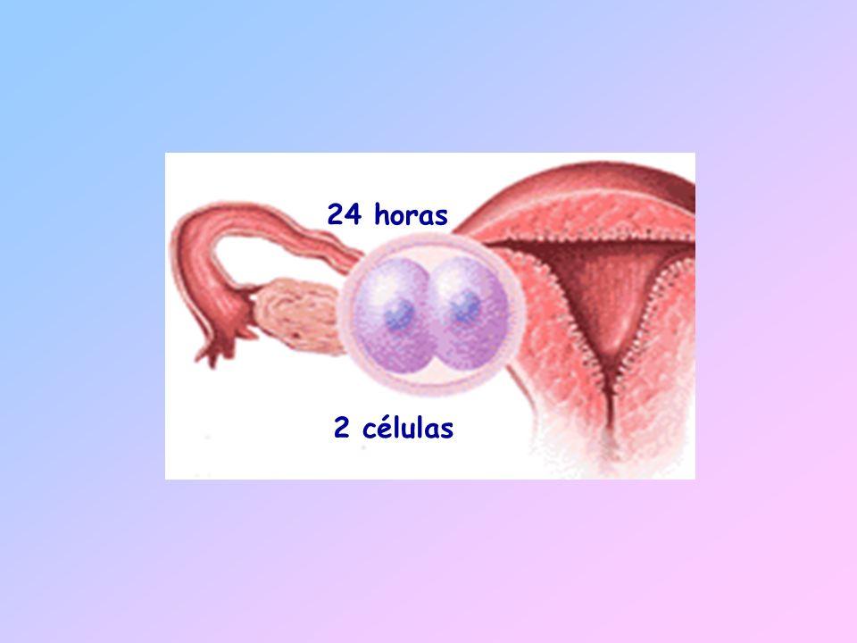 24 horas 2 células