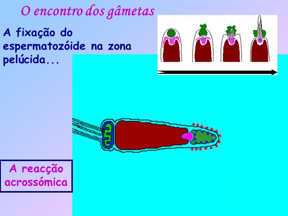 O encontro dos gâmetas A fixação do espermatozóide na zona pelúcida...