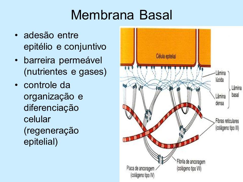 Membrana Basal adesão entre epitélio e conjuntivo