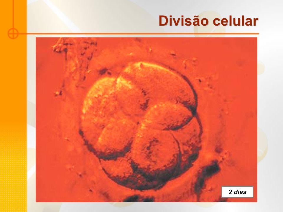 Divisão celular 2 dias