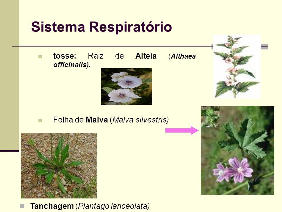 Sistema Respiratório tosse: Raiz de Alteia (Althaea officinalis),