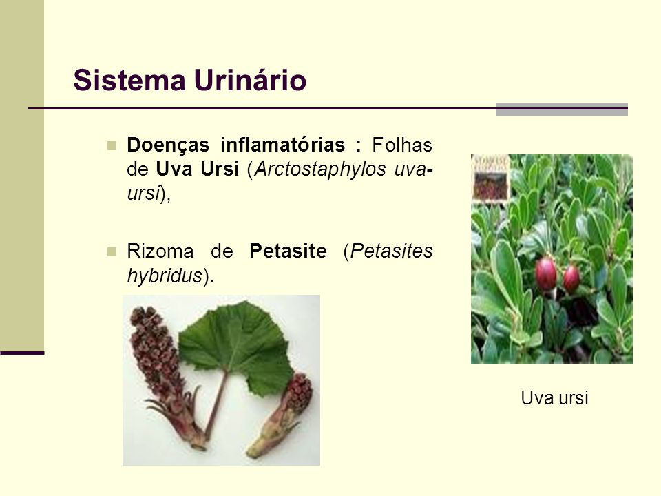 Sistema Urinário Doenças inflamatórias : Folhas de Uva Ursi (Arctostaphylos uva-ursi), Rizoma de Petasite (Petasites hybridus).