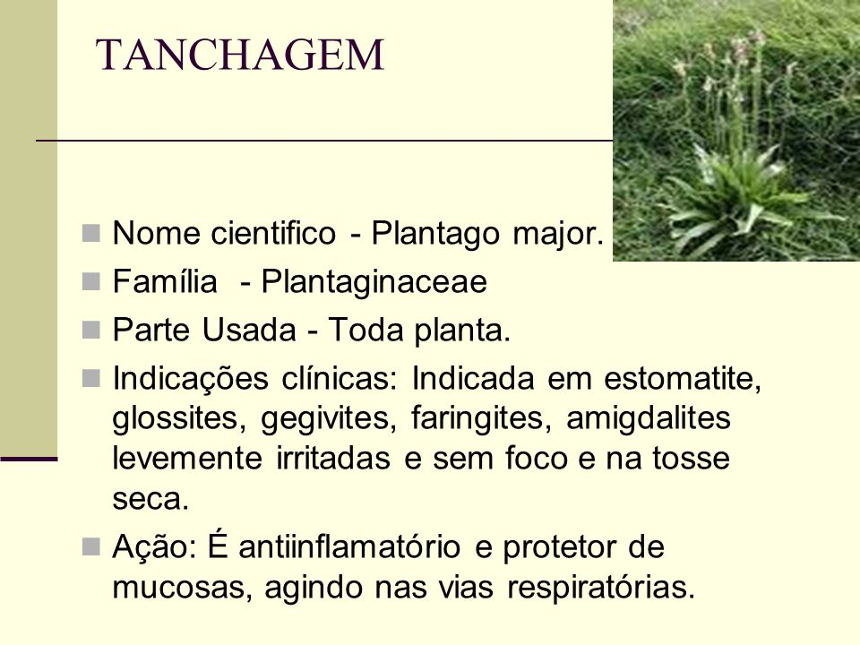 TANCHAGEM Nome cientifico - Plantago major. Família - Plantaginaceae