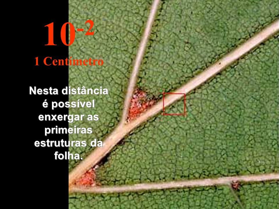 Nesta distância é possível enxergar as primeiras estruturas da folha.