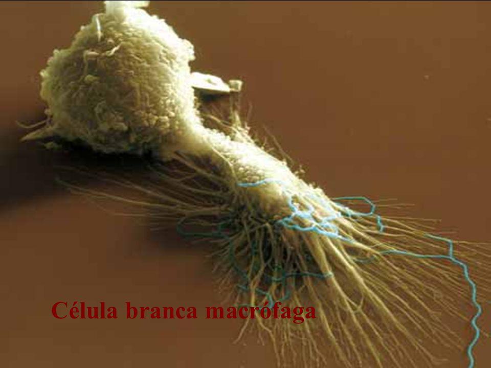 Célula branca macrófaga