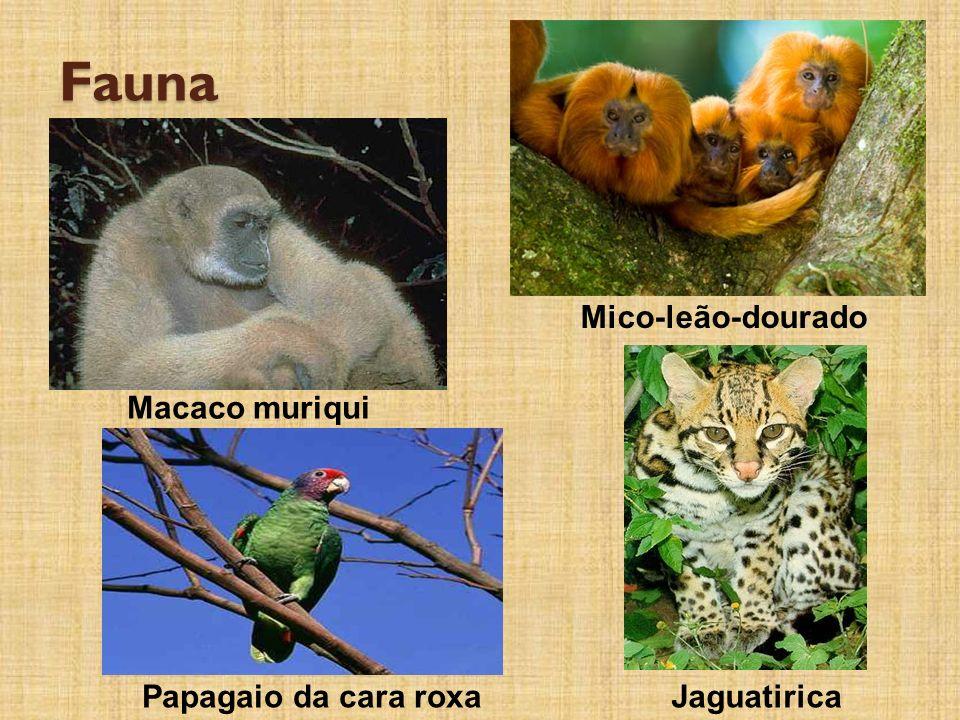 Fauna Mico-leão-dourado Macaco muriqui Papagaio da cara roxa