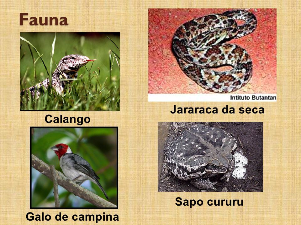Fauna Jararaca da seca Calango Sapo cururu Galo de campina