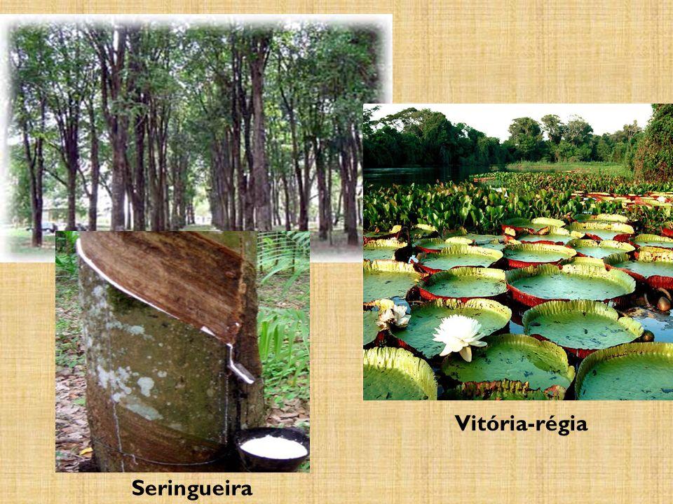 Vitória-régia Seringueira
