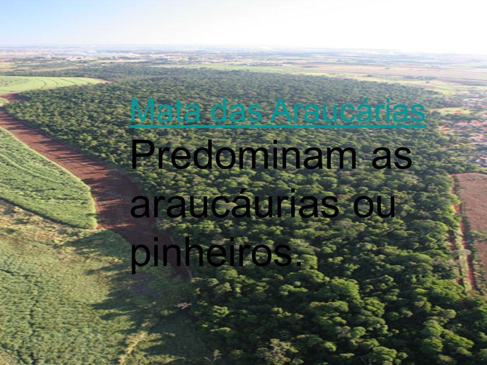 Mata das Araucárias Predominam as araucáurias ou pinheiros.