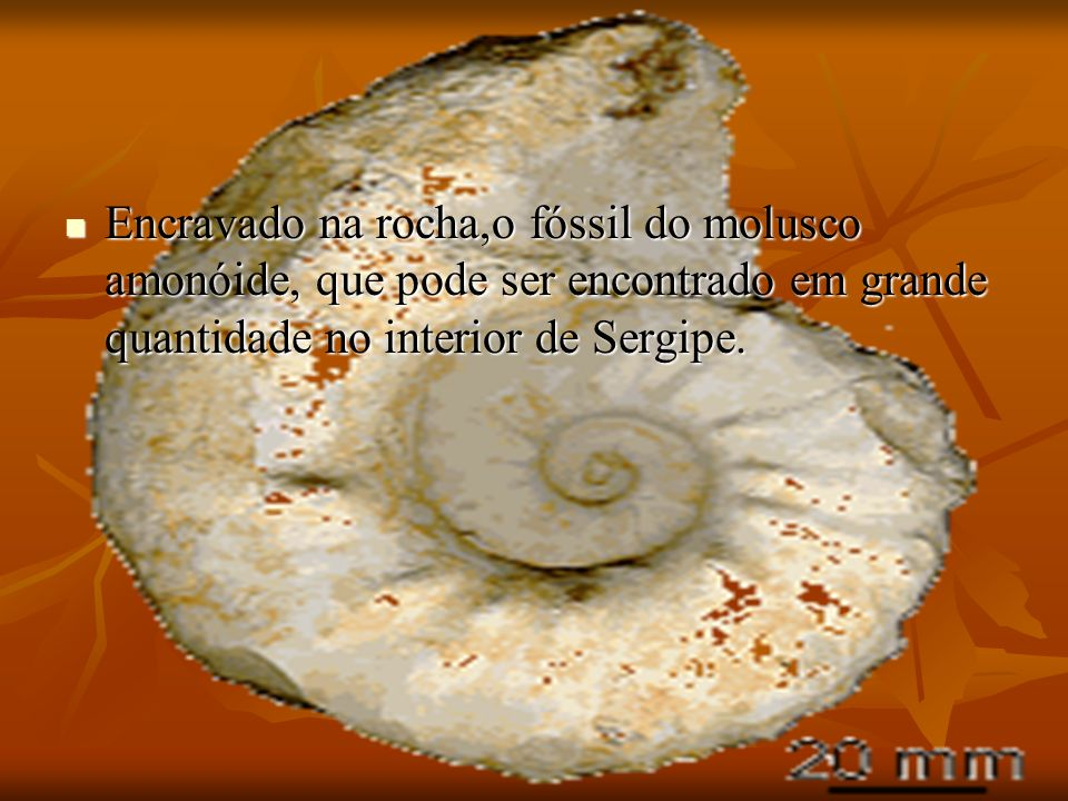 Encravado na rocha,o fóssil do molusco amonóide, que pode ser encontrado em grande quantidade no interior de Sergipe.