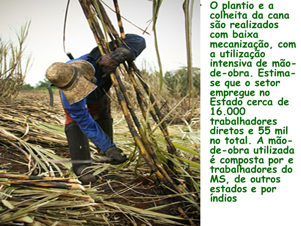 O plantio e a colheita da cana são realizados com baixa mecanização, com a utilização intensiva de mão-de-obra.