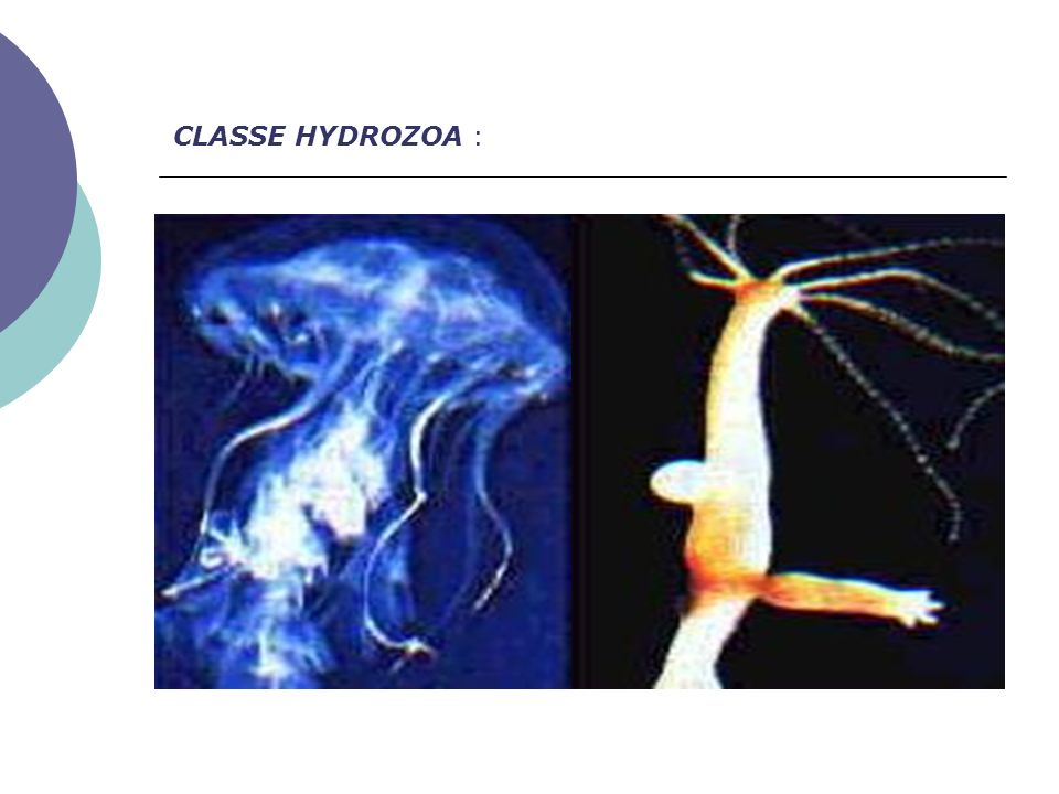 CLASSE HYDROZOA :