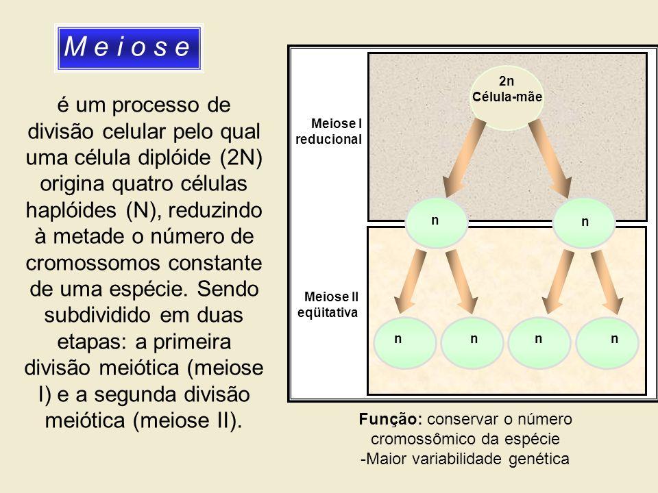 M e i o s e 2n. Célula-mãe. n. Meiose I. reducional. Meiose II. eqüitativa.