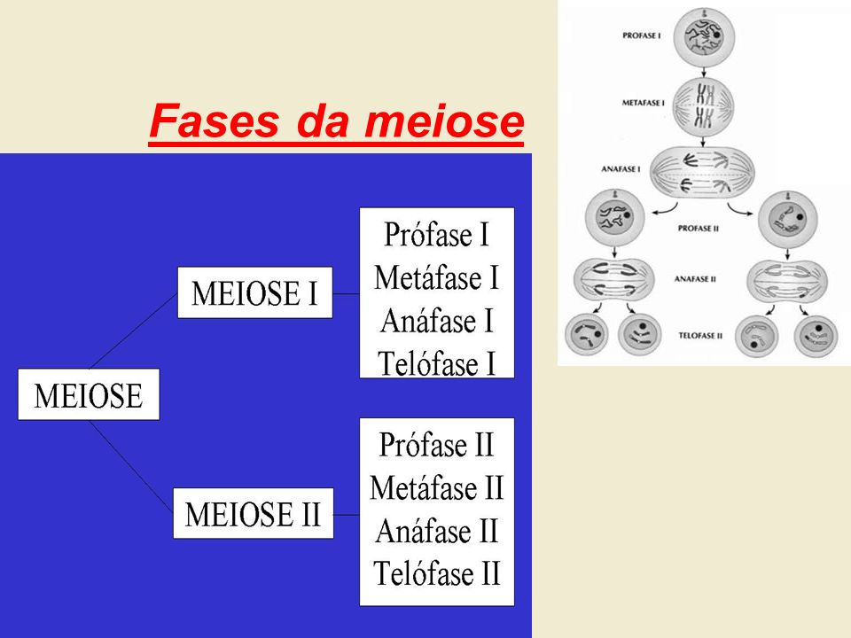 Fases da meiose