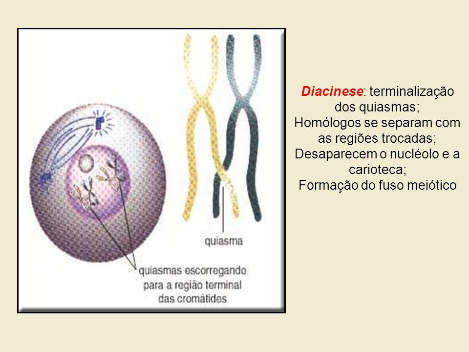 Diacinese: terminalização dos quiasmas;