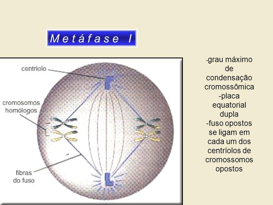 M e t á f a s e I -placa equatorial dupla