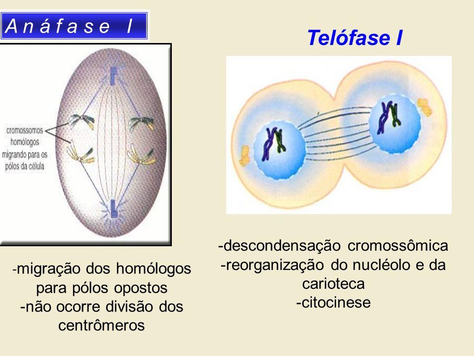 Telófase I A n á f a s e I -descondensação cromossômica