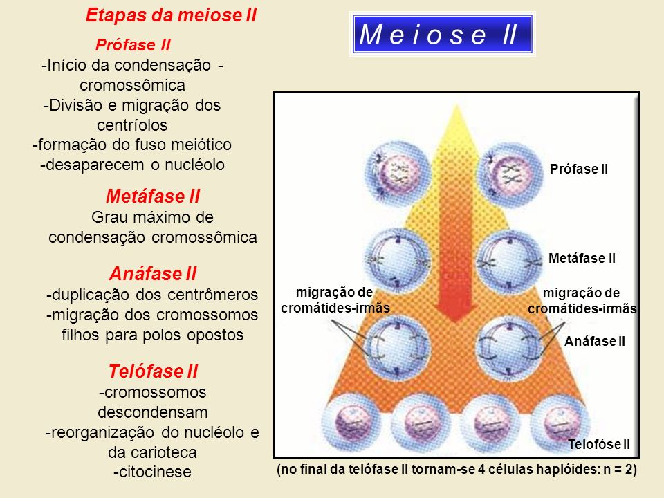 (no final da telófase II tornam-se 4 células haplóides: n = 2)