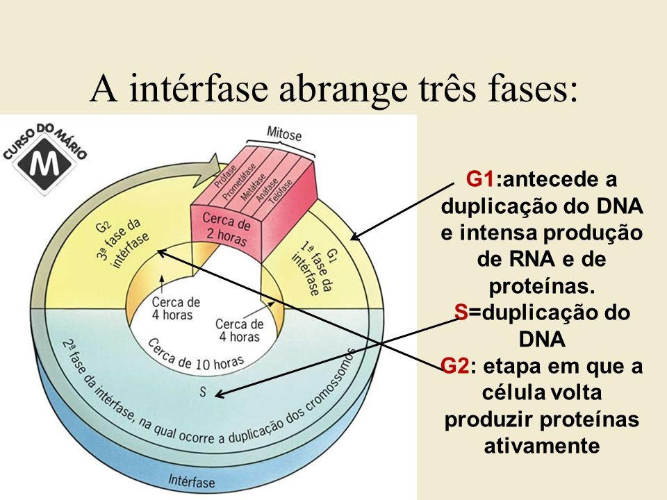 A intérfase abrange três fases:
