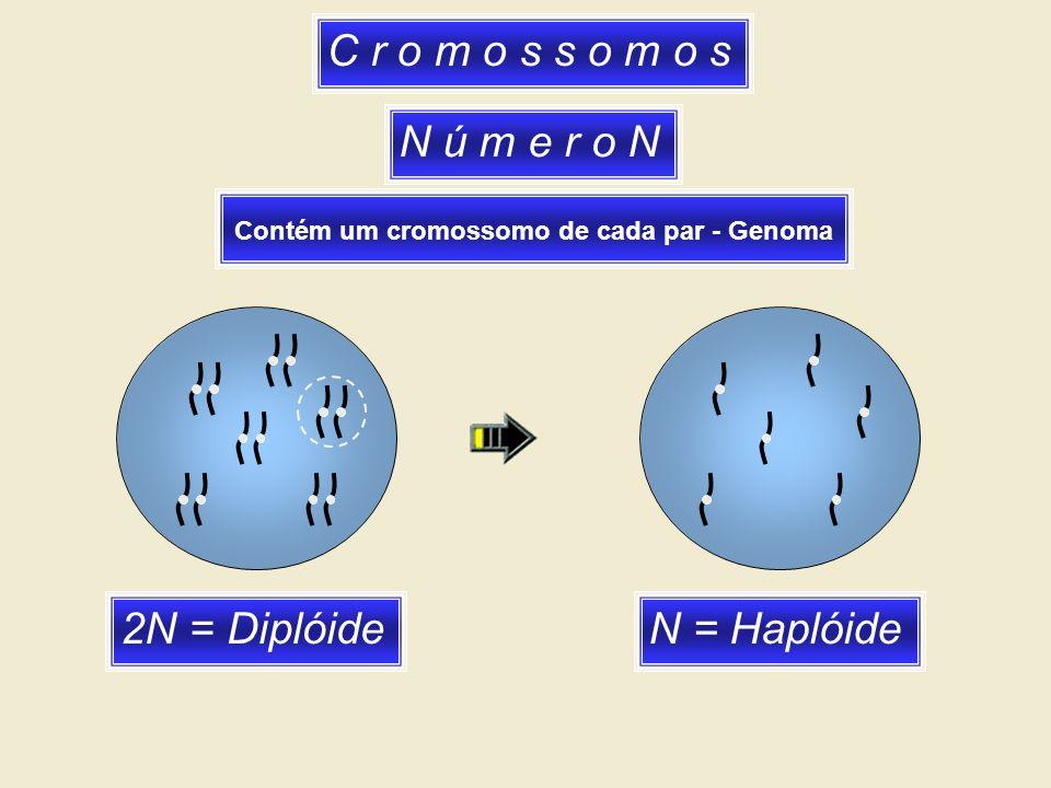 C r o m o s s o m o s N ú m e r o N 2N = Diplóide N = Haplóide
