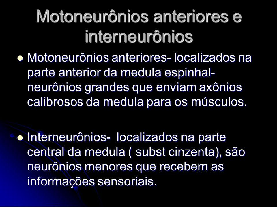 Motoneurônios anteriores e interneurônios