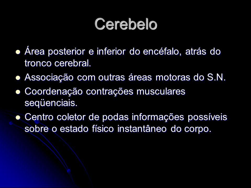 Cerebelo Área posterior e inferior do encéfalo, atrás do tronco cerebral. Associação com outras áreas motoras do S.N.