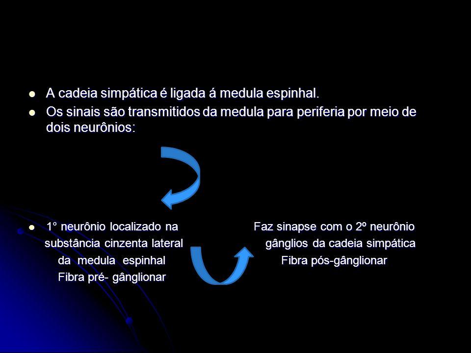 A cadeia simpática é ligada á medula espinhal.