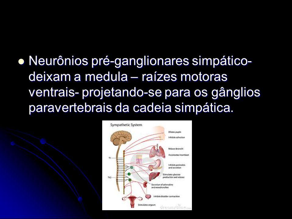 Neurônios pré-ganglionares simpático- deixam a medula – raízes motoras ventrais- projetando-se para os gânglios paravertebrais da cadeia simpática.