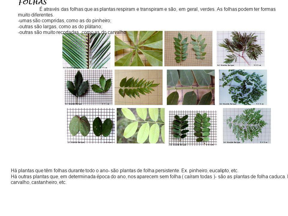 FOLHAS É através das folhas que as plantas respiram e transpiram e são, em geral, verdes. As folhas podem ter formas muito diferentes.