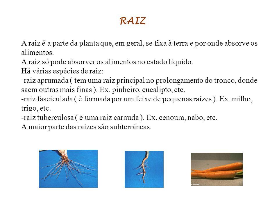 RAIZ A raiz é a parte da planta que, em geral, se fixa à terra e por onde absorve os alimentos.