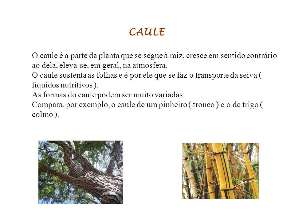 CAULE O caule é a parte da planta que se segue à raiz, cresce em sentido contrário ao dela, eleva-se, em geral, na atmosfera.