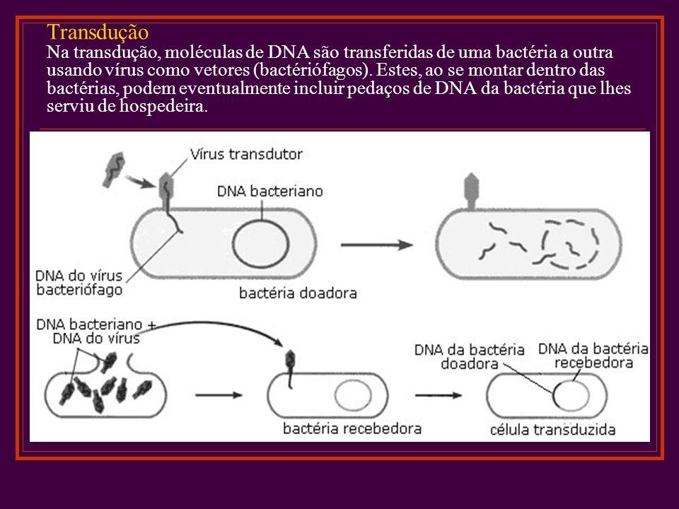 Transdução Na transdução, moléculas de DNA são transferidas de uma bactéria a outra usando vírus como vetores (bactériófagos).