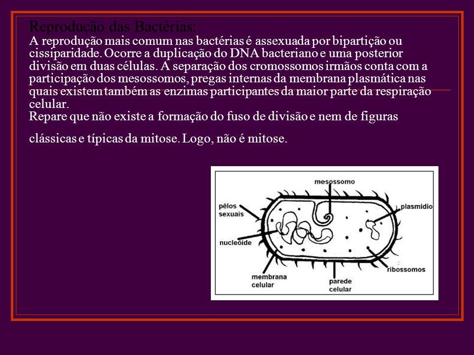 Reprodução das Bactérias: A reprodução mais comum nas bactérias é assexuada por bipartição ou cissiparidade.