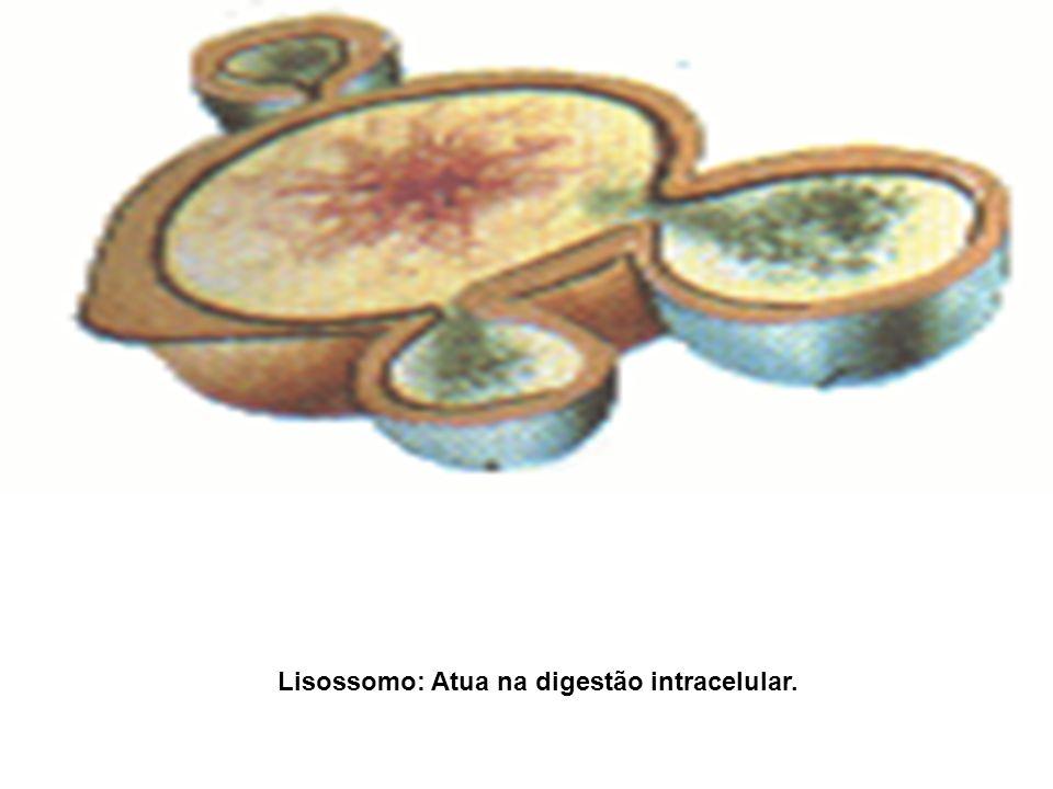 Lisossomo: Atua na digestão intracelular.