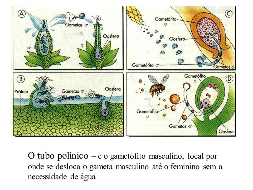 O tubo polínico – é o gametófito masculino, local por onde se desloca o gameta masculino até o feminino sem a necessidade de água