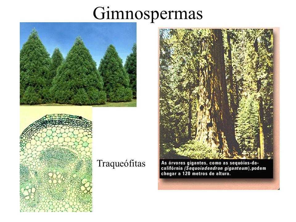 Gimnospermas Traqueófitas